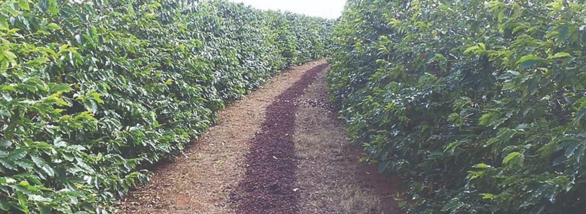 Plantação de café na Indicação Geográfica.