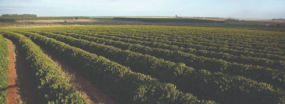 Plantação de café.