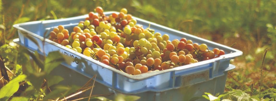 Coleta das uvas.