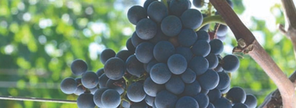 Uvas cultivadas na região