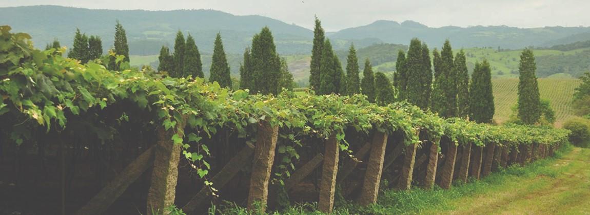 Plantação das uvas Goethe.