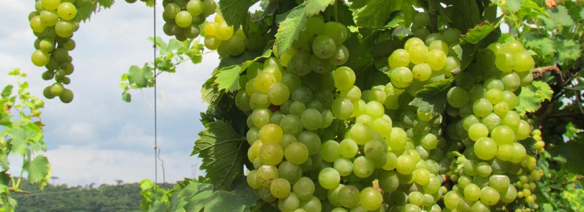 Uvas de Farroupilha.