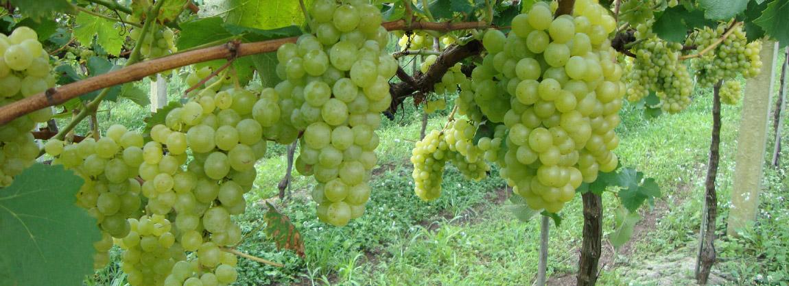 Cachos de uvas.