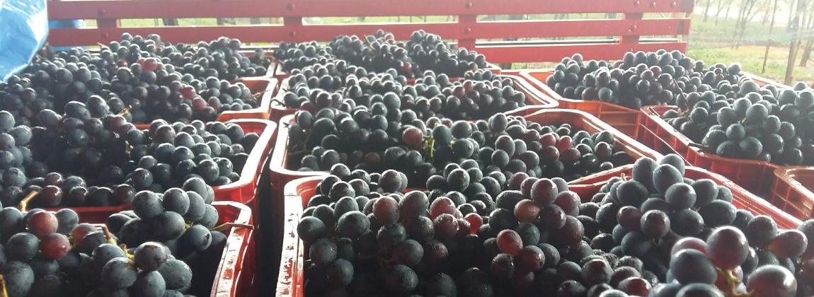 Caixas de carregamento de uvas.